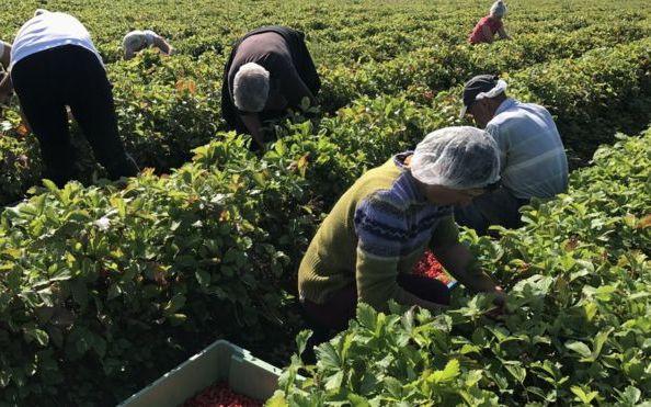 De ce refuza romanii sa munceasca in agricultura in UK?!